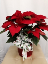 Medium Poinsetta