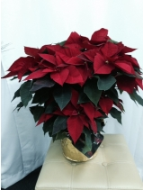Large poinsetta